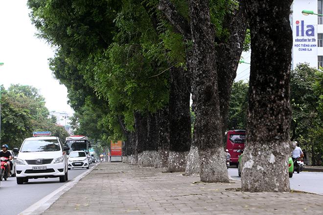 """Ảnh: Chặt hạ, di chuyển 130 """"cụ cây"""" trên đường Kim Mã - 7"""