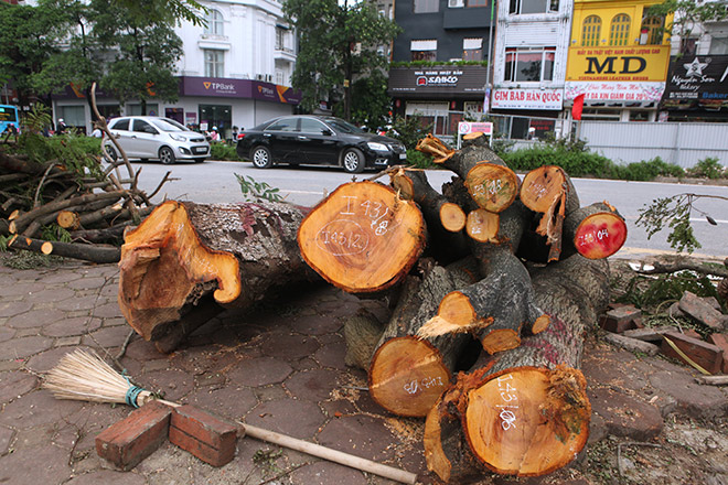 """Ảnh: Chặt hạ, di chuyển 130 """"cụ cây"""" trên đường Kim Mã - 5"""