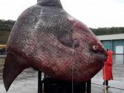 Nga: Ngư dân bắt cá  quái vật  nặng 1 tấn, đem cho gấu ăn