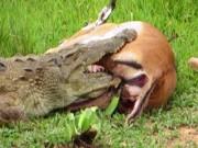 Tích tắc sơ hở, cá sấu bị con mồi đạp vào mặt rồi bỏ chạy