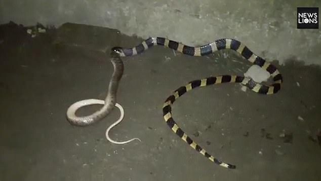 Cận cảnh rắn cạp nong khổng lổ nuốt chửng đồng loại - 1