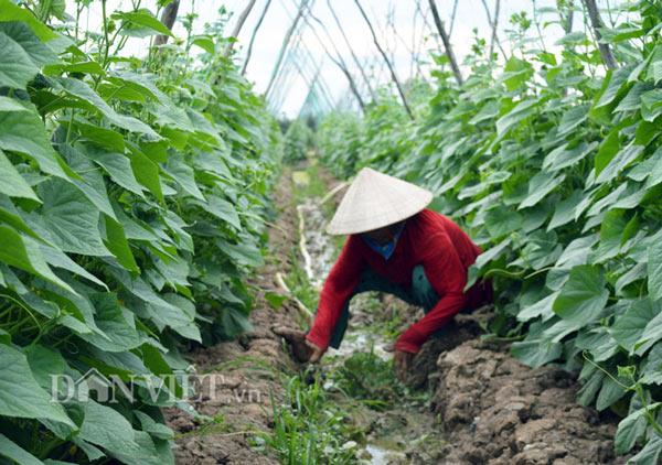 Cách trồng hay: Đất mặn khó nhằn, rau màu vẫn xanh, kiếm nhanh 200 triệu - ảnh 2