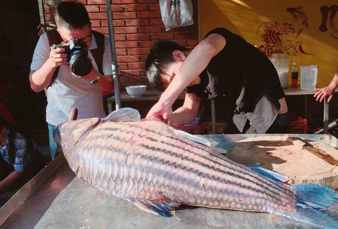 Cặp cá trà sóc nặng gần 1 tạ bắt từ Campuchia đưa về Hà Nội - ảnh 2