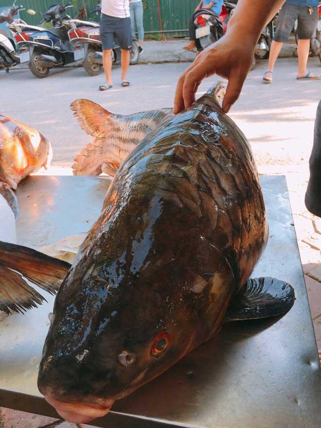 Cặp cá trà sóc nặng gần 1 tạ bắt từ Campuchia đưa về Hà Nội - ảnh 5