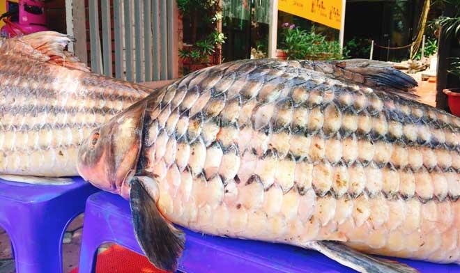 Cặp cá trà sóc nặng gần 1 tạ bắt từ Campuchia đưa về Hà Nội - ảnh 3