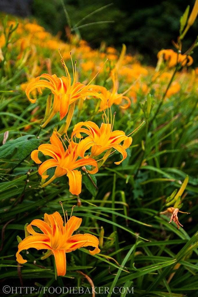 Choáng ngợp lễ hội hoa lily lớn nhất hành tinh - 5