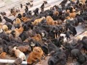 TQ: Chó ngao Tây Tạng kết đàn hùng hậu đi phá xóm làng