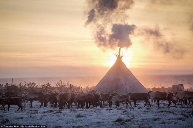 Nenets cũng là cộng đồng duy nhất trên thế giới duy trì nghề chăn nuôi tuần lộc. Hằng năm, họ lùa đàn tuần lộc từ cánh đồng cỏ mùa hè ở phía bắc sang cánh đồng cỏ mùa đông ở phía nam của Vòng bắc cực.