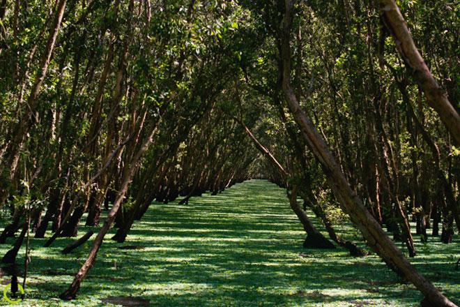 Mùa này về miền Tây ghé rừng tràm Trà Sư là nhất - 6
