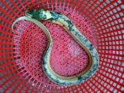 Sóc Trăng: Nông dân bắt được lươn lạ có màu ánh kim