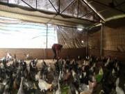 Thị trường - Tiêu dùng - Làm giàu ở nông thôn: Gái đảm nuôi gà, trồng rau, kiếm nửa tỷ/năm