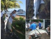 Cá mập  khủng  bắt được ở Hạ Long nguy hiểm cỡ nào?