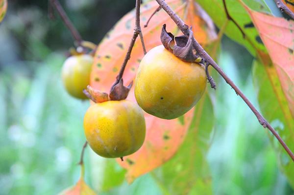 Tương lai không có để ăn - đặc sản hồng không hạt Bảo Lâm, Lạng Sơn - 1