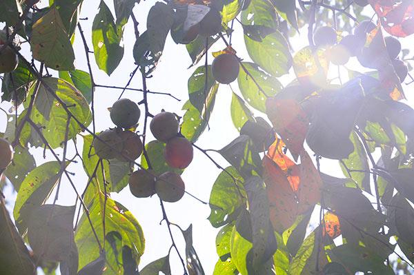 Tương lai không có để ăn - đặc sản hồng không hạt Bảo Lâm, Lạng Sơn - 5