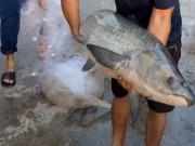 Đi thả lưới bắt được cá trắm đen dài gần 1,5m