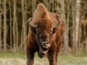 Cảnh sát Đức bắn chết bò quý hiếm 250 năm thấy 1 lần
