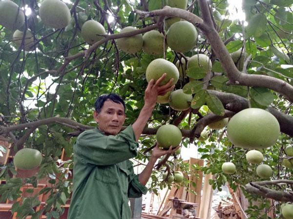Làm giàu ở nông thôn: Mát mắt vườn bưởi hồng Quang Tiến bạc triệu xứ Nghệ - 1