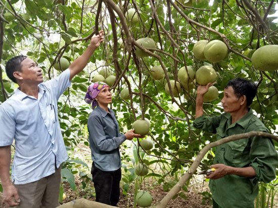Làm giàu ở nông thôn: Mát mắt vườn bưởi hồng Quang Tiến bạc triệu xứ Nghệ - 2