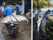 Số phận con cá mập  khủng  bắt được ở Hạ Long giờ ra sao?