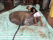 """"""" Thủy quái """"  nặng hơn 2 tạ, đuôi dài 1,5m xuất hiện ở Hà Nội"""