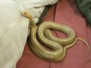 Choáng vì thấy loài rắn độc nhất hành tinh trên giường