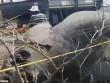 Voi húc đổ cột điện, 8 con khác chết thảm