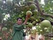 Làm giàu ở nông thôn: Mát mắt vườn bưởi hồng Quang Tiến bạc triệu xứ Nghệ