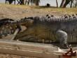 Úc: Cá sấu khổng lồ bị bắn thủng sọ, nguy cơ  bạo loạn