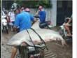 Nóng 24h qua: Cá mập  khủng  mắc câu ở Hạ Long và cái kết