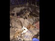 Ấn Độ: Bắt trộm 26 con chó, chuẩn bị đem luộc sống