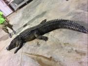 Mỹ: Xông vào đầm lầy, bắt cá sấu thủ lĩnh nặng 240 kg