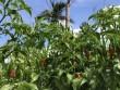 """Ngắm  """" vườn """"  ớt đặc sản 400.000 đồng/kg, dân không có đủ để bán"""