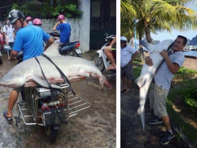 """Nóng trong tuần: Người dân câu được cá mập """"khủng"""" ở Hạ Long"""