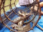 Tuyệt chiêu giăng bắt loài cá có nọc độc trên sông ở Cà Mau