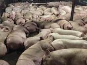Thị trường - Tiêu dùng - Chấn động: Bắt quả tang 5.200 con lợn bị tiêm thuốc an thần để giết mổ