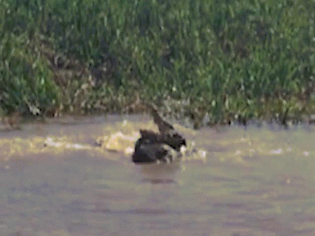 Báo đốm vật lộn tử chiến với cá sấu dưới sông và kết cục khó tin