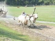 Du lịch - Phum sóc rộn ràng luyện bò đua vùng Bảy Núi