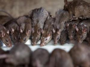 Phi thường - kỳ quặc - Kinh hãi: Ngôi đền nuôi chuột như thú cưng ở Ấn Độ
