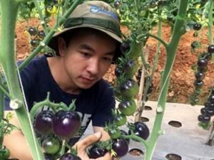 Bạn trẻ - Cuộc sống - Vườn cà chua đen trĩu quả của chàng cử nhân 9X