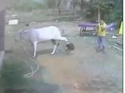 Phi thường - kỳ quặc - Dại dột sờ chân bò, bé trai bị đá hậu bay xa cả mét