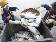 Tin tức trong ngày - Khoảng 200 tấn cá hồ Tây đã được đem chôn