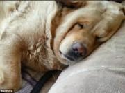Phi thường - kỳ quặc - Chó béo mặt bánh bao nằm trên ghế ngáy to như sấm