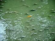 """Tin tức trong ngày - Cá nổi """"đặc nước"""" trên kênh Nhiêu Lộc - Thị Nghè"""