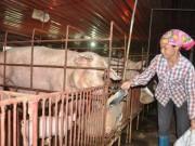 Thị trường - Tiêu dùng - Chất cấm mới phát hiện trong chăn nuôi độc hại thế nào?