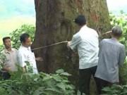 Tin tức trong ngày - Cây Lim hơn 1.000 tuổi trở thành cây di sản