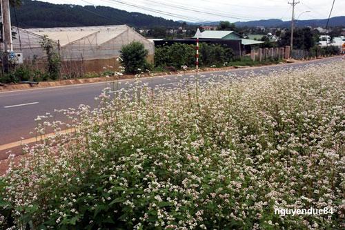 Vườn hoa hoa tam giác mạch đẹp mơ màng giữa Đà Lạt - 3