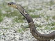 Thế giới - TQ: Săn lùng 50 rắn hổ mang cực độc sổng chuồng
