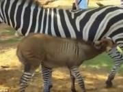 Phi thường - kỳ quặc - Lừa lai ngựa vằn cực hiếm trên thế giới