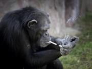Phi thường - kỳ quặc - Tinh tinh trong vườn thú Triều Tiên hút thuốc như người