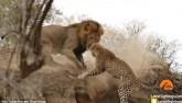 Video: Sư tử rình mò, tấn công báo đang say ngủ